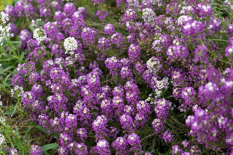 Floral υπόβαθρο alyssum των ιωδών και άσπρων λουλουδιών στοκ εικόνες με δικαίωμα ελεύθερης χρήσης