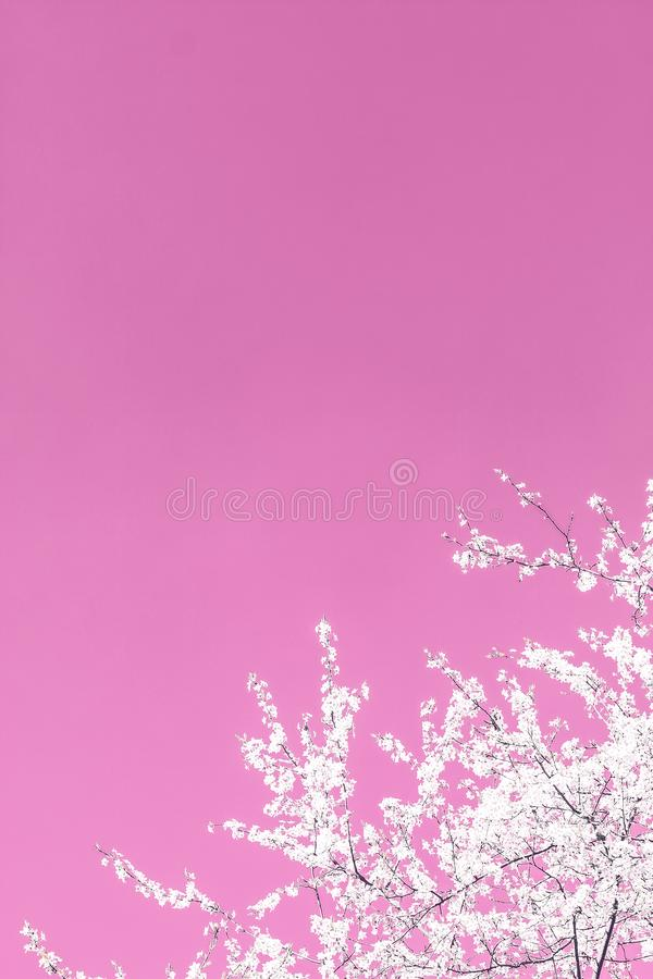 Floral abstract art on pink background, vintage cherry flowers in bloom as nature backdrop for luxury holiday design stock photos