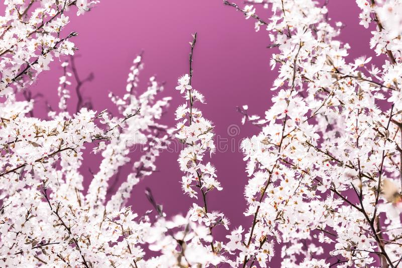 Floral abstract art on pink background, vintage cherry flowers in bloom as nature backdrop for luxury holiday design royalty free stock photos
