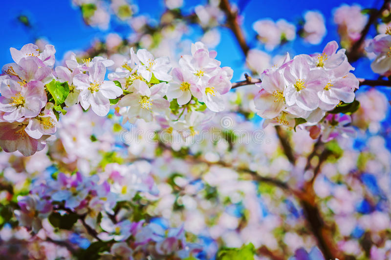 Floral background beautiful blossoming flowers of. Apple tree instagram stile stock photography