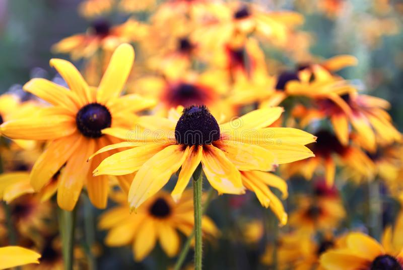 Floral background. Black-eyed susan or Rudbeckia hirta plant, brown betty, gloriosa daisy, golden Jerusalem. royalty free stock photo