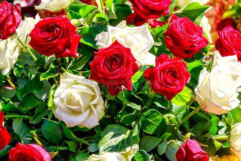 Bouquet of white and red roses. Floral background - Bouquet of white and red roses stock images