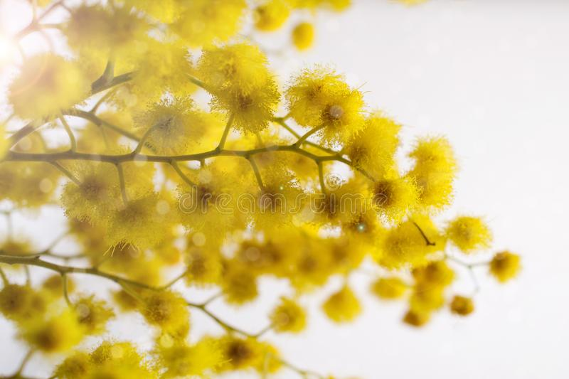 Floral background. Branch of mimosa flowers on white with bokeh lights. Spring season royalty free stock photos
