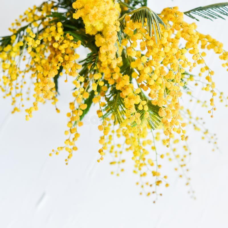 Floral background: a branch of Mimosa on a light background, cop stock images