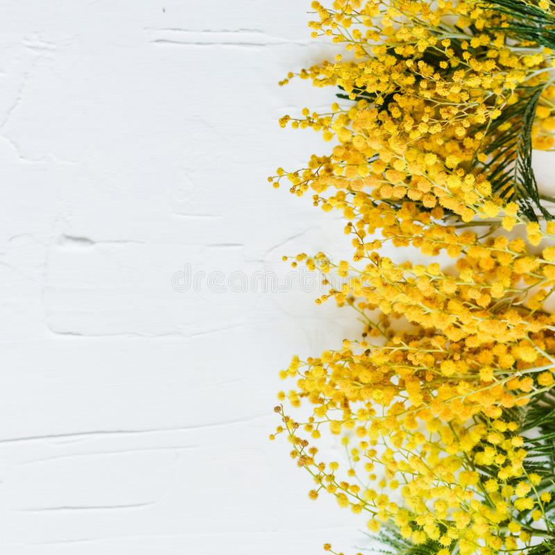 Floral background: a branch of Mimosa on a light background, cop royalty free stock images