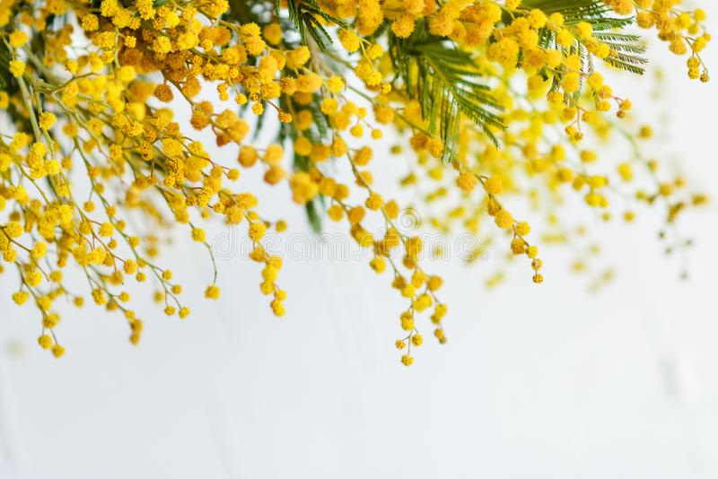 Floral background: a branch of Mimosa on a light background, copyspace for your text: greeting card, blank, mockup, background for stock photography