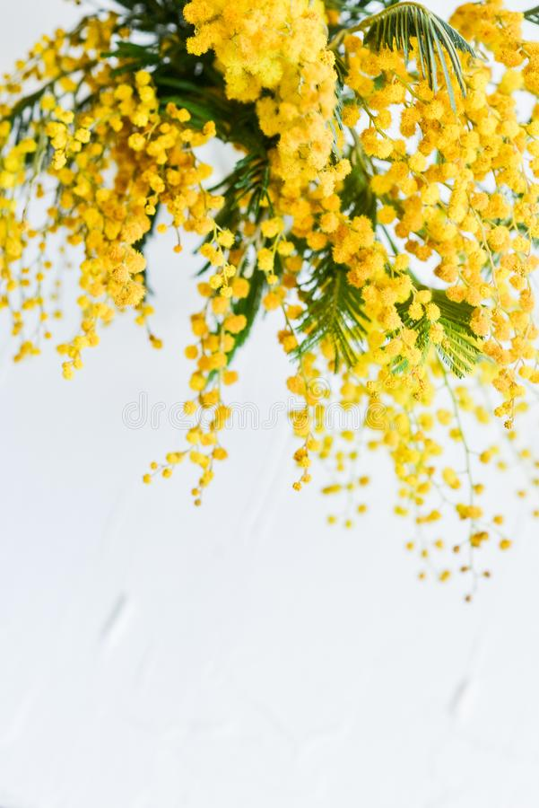 Floral background: a branch of Mimosa on a light background, copyspace for your text: greeting card, blank, mockup, background for stock image