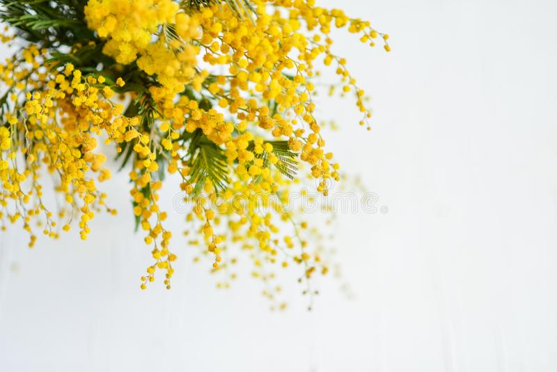Floral background: a branch of Mimosa on a light background, copyspace for your text: greeting card, blank, mockup, background for royalty free stock images