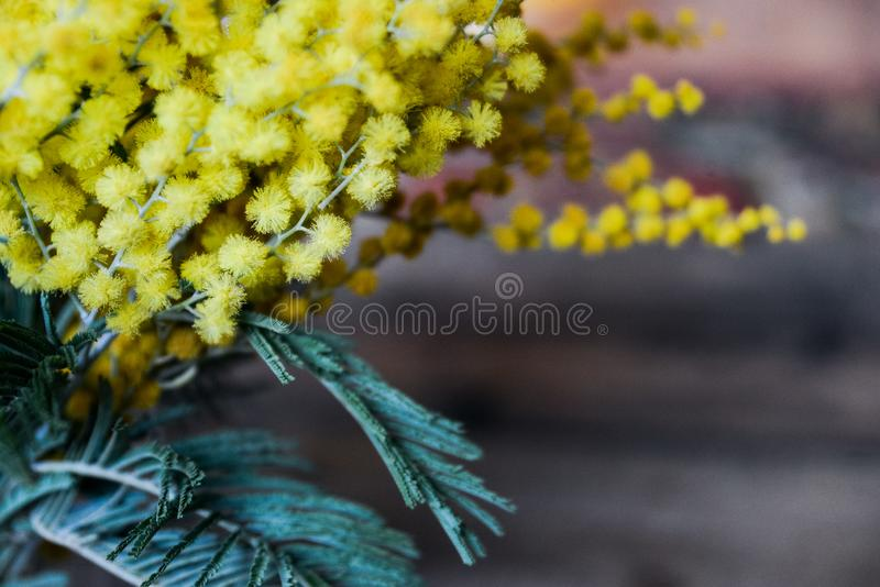 Floral background: a branch of Mimosa on the natural wooden background, copyspace for your text: mockup, background for greetings stock photography