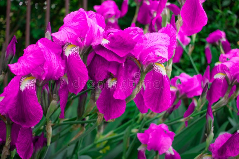 Floral background of bright colorful blossoming spring summer purple pink iris flowers stock photo