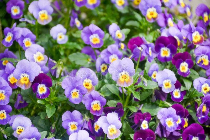 Floral background with colorful viola flowers, spring season in Netherlands, garden decoration. Close up stock images