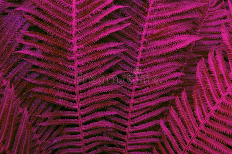 Floral background. Glowing fern in neon trendy colours Proton Purple and Plastic Pink. For lifestyle blog, social media. Floral background. Glowing fern in neon royalty free stock photography