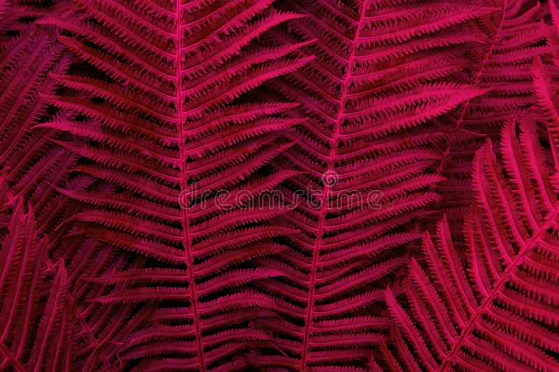 Floral background. Glowing fern in red and purple neon trendy colors. For lifestyle blog, social media. Horizontal. Dark mood. Style royalty free stock photo