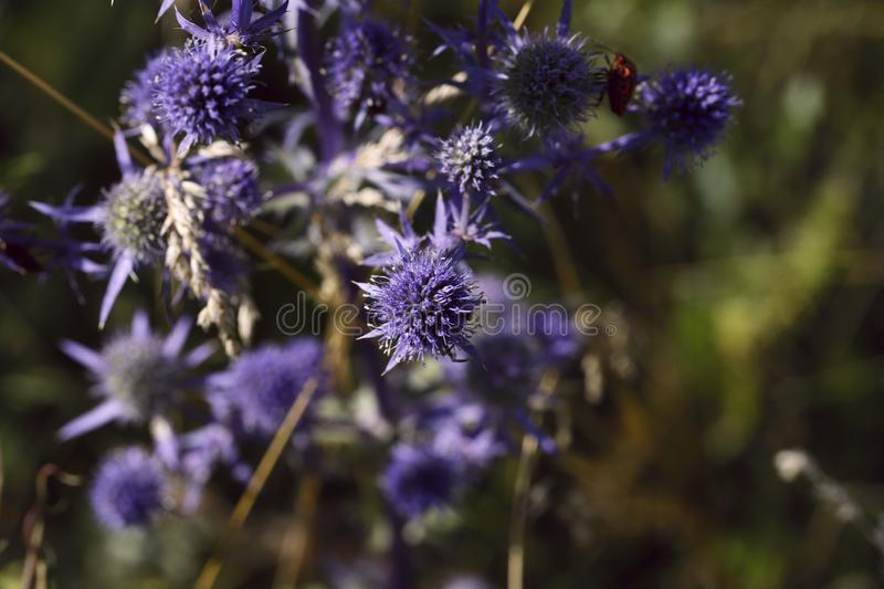 Floral background. Interesting barb of Eryngium campestre in the garden. royalty free stock photos