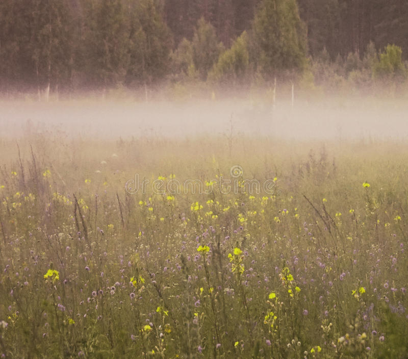 Floral background. A lot of blue and yellow flowers bloom in the summer in a glade in the morning mist. A natural landscape royalty free stock images