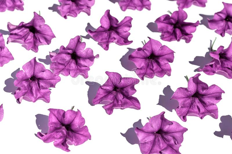 Floral background of lush bright purple petunia flowers, evenly spread out on a white background, in bright contrasting sunlight. royalty free stock images