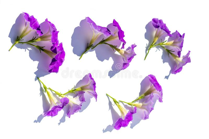 Floral background of lush bright purple petunia flowers, evenly spread out on a white background, in bright contrasting sunlight. Flat lay background in royalty free stock images