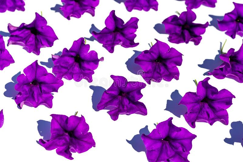 Floral background of lush bright purple petunia flowers, evenly spread out on a white background, in bright contrasting sunlight. Flat lay background in royalty free stock photos