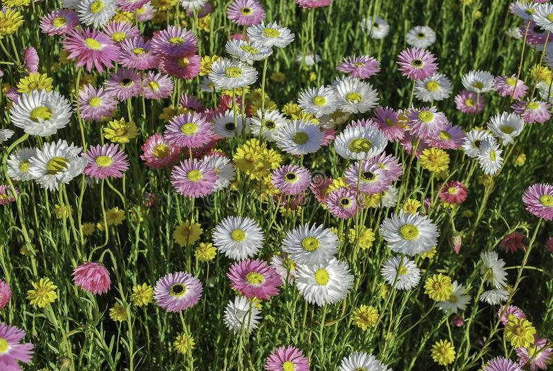 Floral background of multicolored daisies on sunset meadow stock image