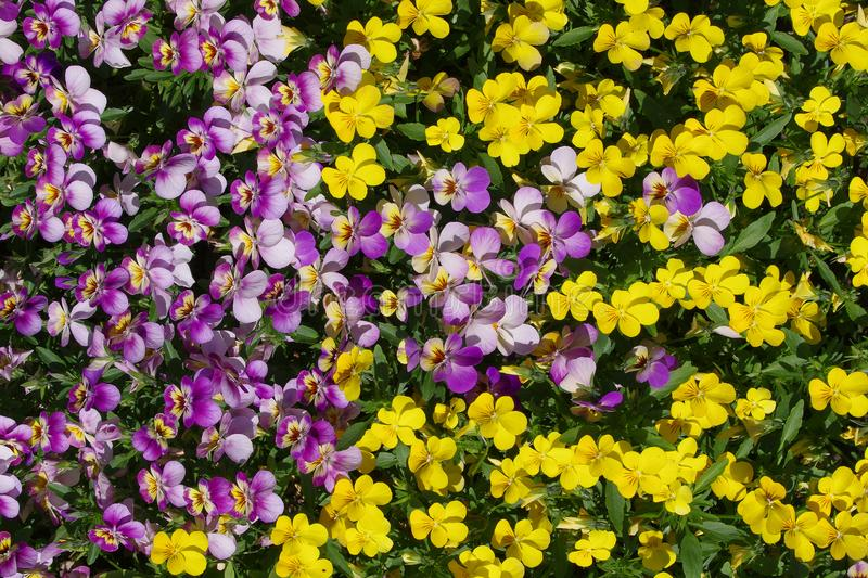 Floral background from a pansy. Two-color background from natural colors. Colorful background of natural beauty. Ultra violet flowers wedged in yellowNatural stock photography