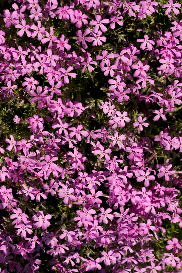 Floral background. Phlox subulata with bright pink colors. Cropped shot, vertical, nobody, plenty of space for text, close-up, top view. Concept of botanical royalty free stock images