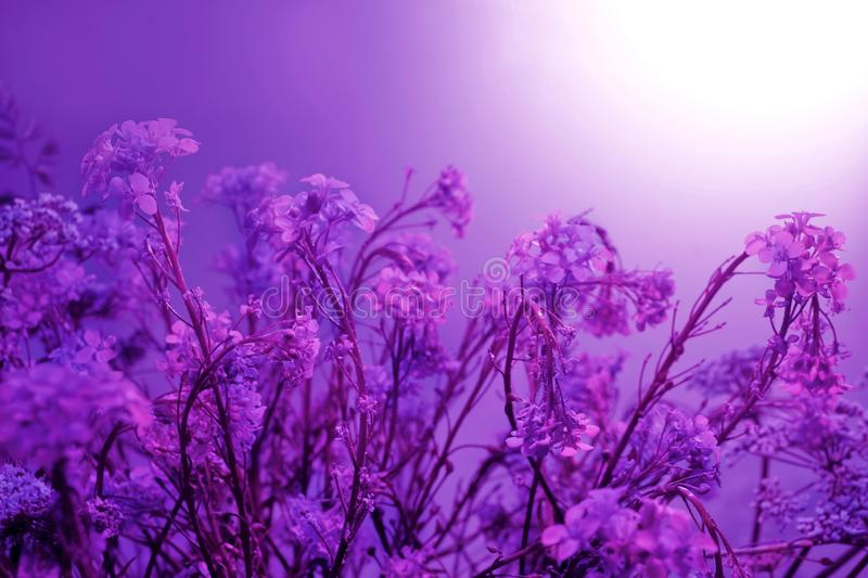 Floral background. pink purple white rustic field flowers interlacing curly little flowers sun sunset sunrise royalty free stock photography
