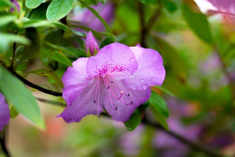Purple azalea flower stock photos