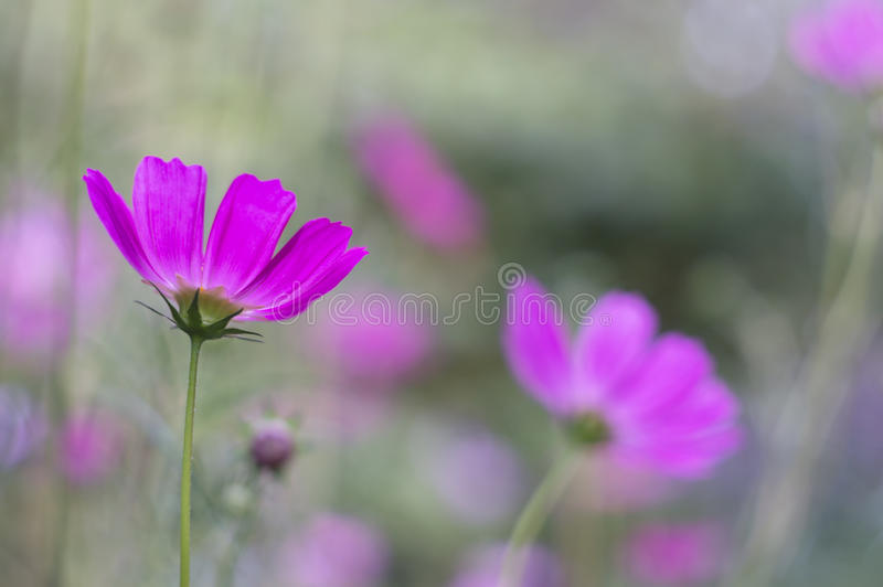 Floral background with purple cosme flowers. Delicate flowers with pastel shades in the open air. Selective soft focus stock photography