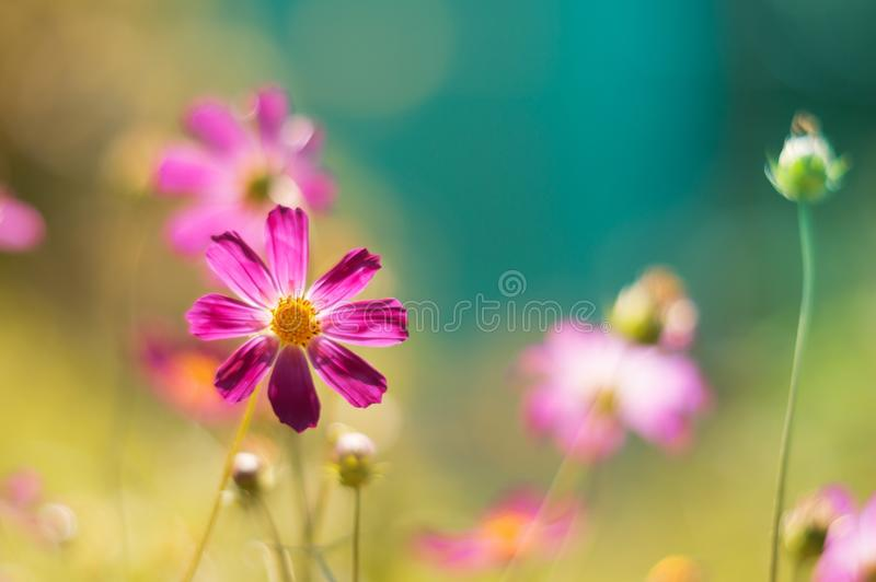 Floral background with purple cosme flowers. Delicate flowers with pastel shades in the open air. Selective soft focus royalty free stock photos