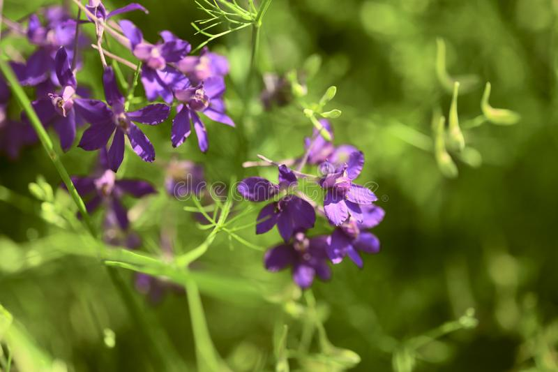Floral background.Purple flowers Epilobium angustifolium on a meadow in a sunny day. stock images