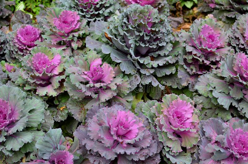 Floral background of purple and green decorative flower cabbage. In the garden royalty free stock images