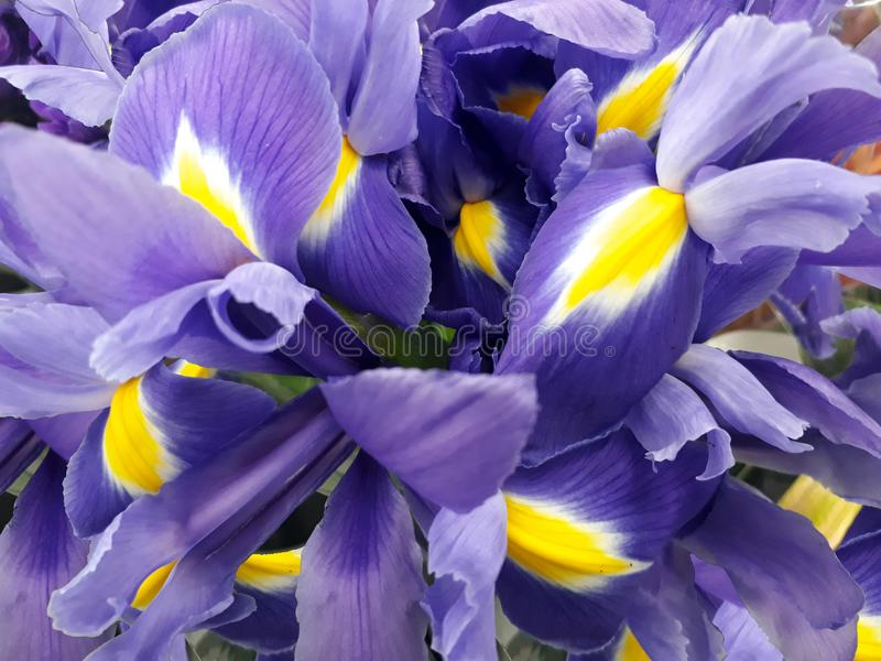 Floral background with purple irises. Natural floral background with purple irises royalty free stock photo