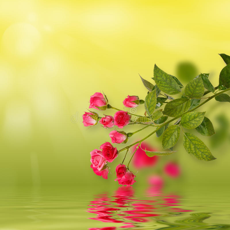 Floral background: roses isolated over green backdrop along with reflections in wavy water surface. Copy space stock photos