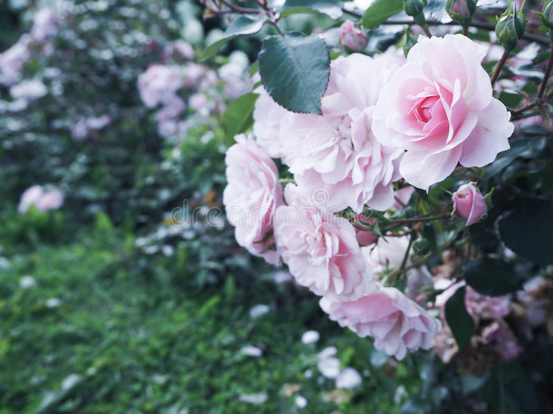 Floral background with roses. Roses in summer and autumn garden. Roses in summer and autumn garden royalty free stock photo