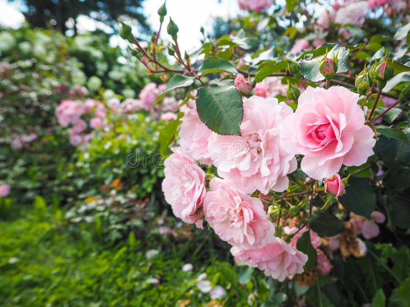 Floral background with roses. Roses in summer and autumn garden. Roses in summer and autumn garden royalty free stock images
