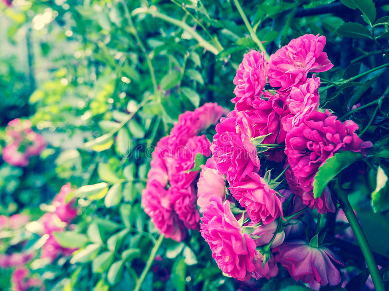 Floral background with roses. Roses in summer and autumn garden. Roses in summer and autumn garden royalty free stock photos