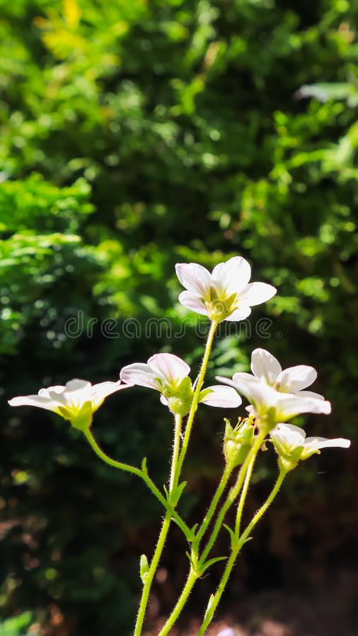 Floral background. Small white flowers Saxifrage moss on a dark backdrop.  royalty free stock photos