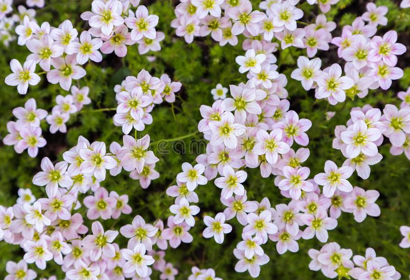 Floral background. Small white flowers Saxifrage moss in the spring garden.  stock image
