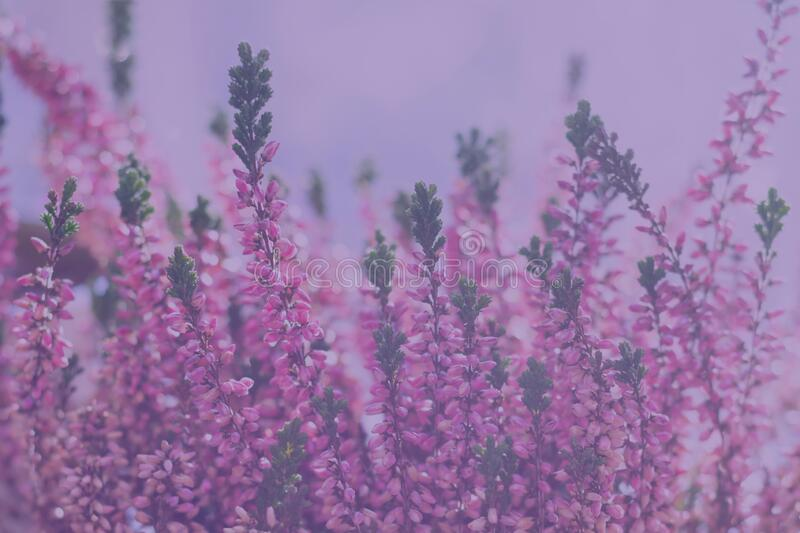 Floral background with tiny vibrant heather flowers with bokeh effect in misty pink tones stock photo