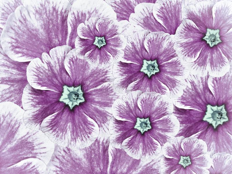 Floral background of violet flowers. Flowers white purple with light blue middle. stock image