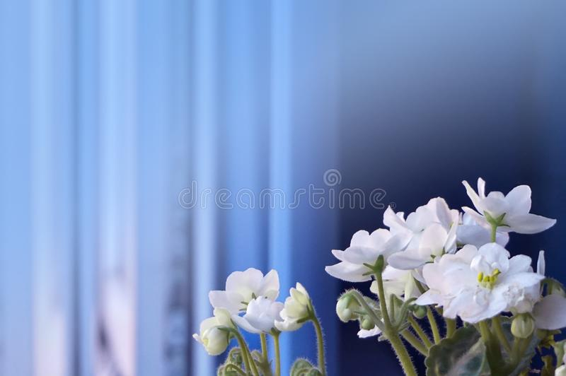 Floral background with violets appropriate for text label. Little white violets on the windowsill. Picture is a floral corner background with sharp white violets royalty free stock photos