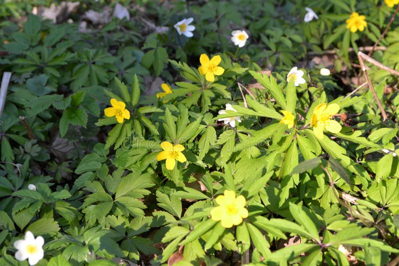 Floral background: wild spring flowers of yellow anemone ranunculoides and white anemone nemorosa stock image
