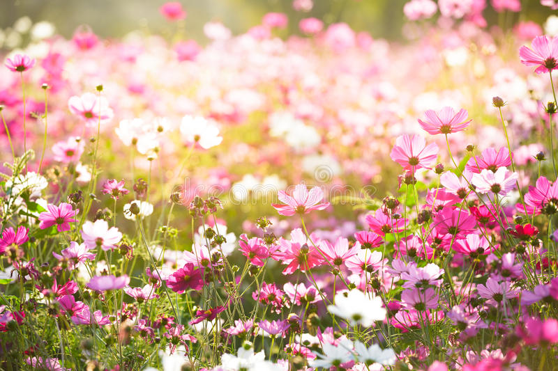 Floral backgrounds. Cosmos Flower, Concept for Floral backgrounds