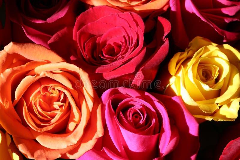 Floral bakgrund med färgstarka rosor royaltyfri foto