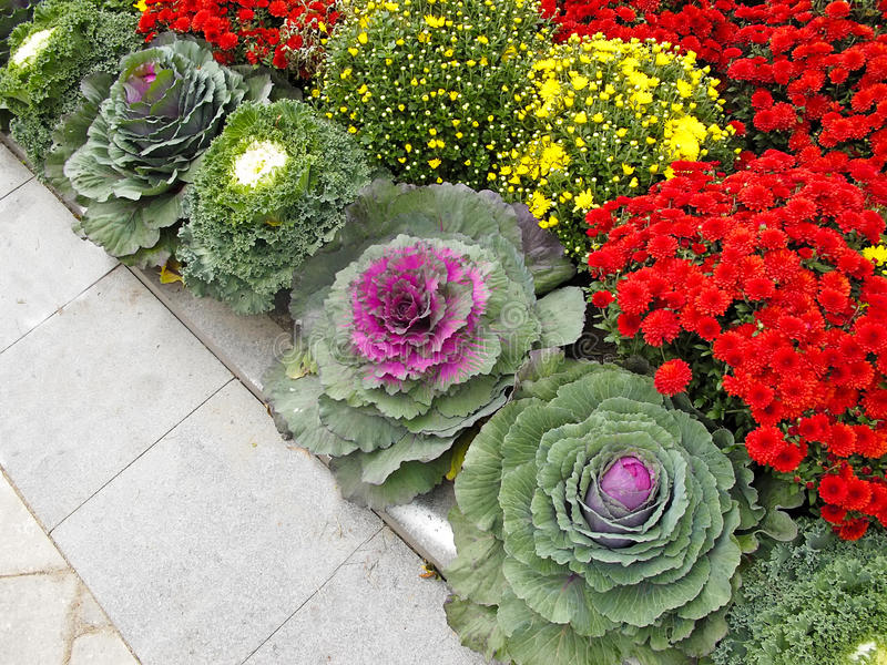 Floral Bed with seasonal flowers and cabbages. Ornamental kale and Chrysanthemums in flower border stock photos