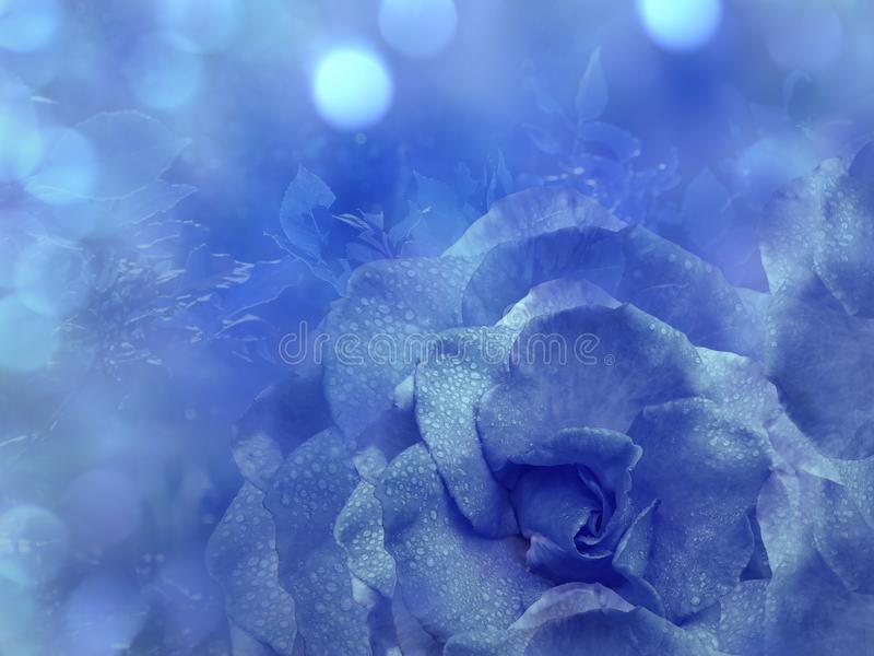 Floral blue background from rose. Flowers composition. A flower of a blue rose on a transparent blue background bokeh. Close-up. Nature royalty free stock photography