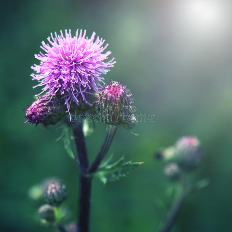 Floral blue-violet background. Pink thorny thistle flower. Wet blossom. Of pink flower on a green background royalty free stock images