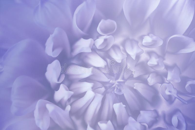 Floral blue-violet-white background. Background of a dahlia flower close-up. Macro. royalty free stock images