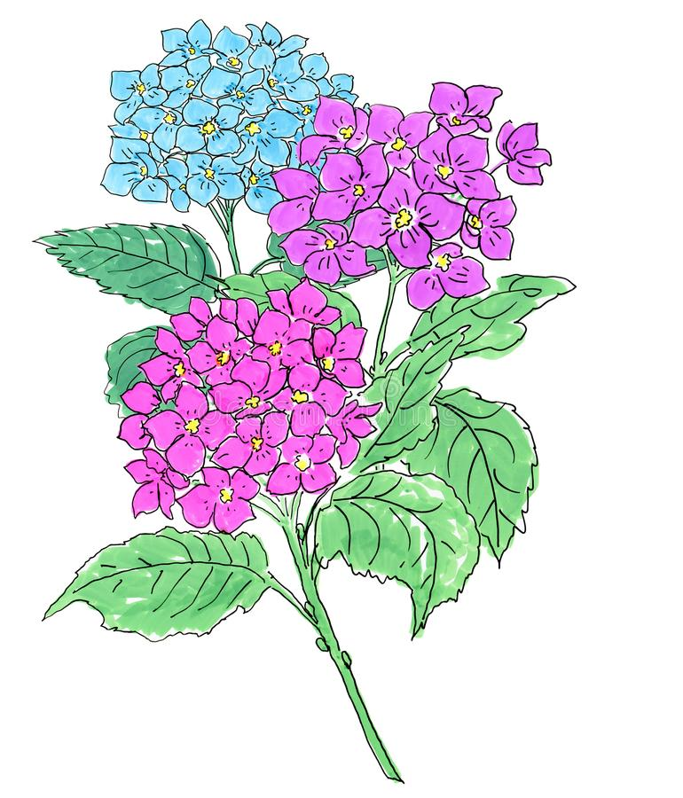 Floral composition. blue and pink hydrangea flowers royalty free illustration