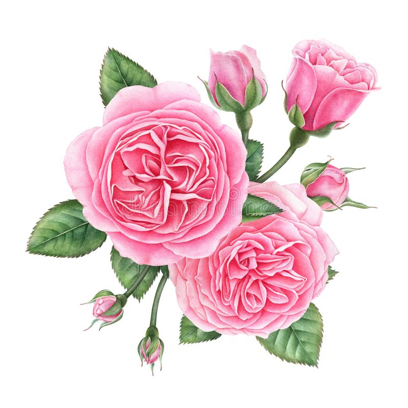 Floral composition of pink english roses, buds and leaves. Hand painted watercolor illustration. stock illustration